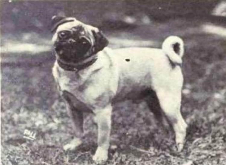 23 фотографии 12 пород собак, изменивших свой вид за последние 100 лет
