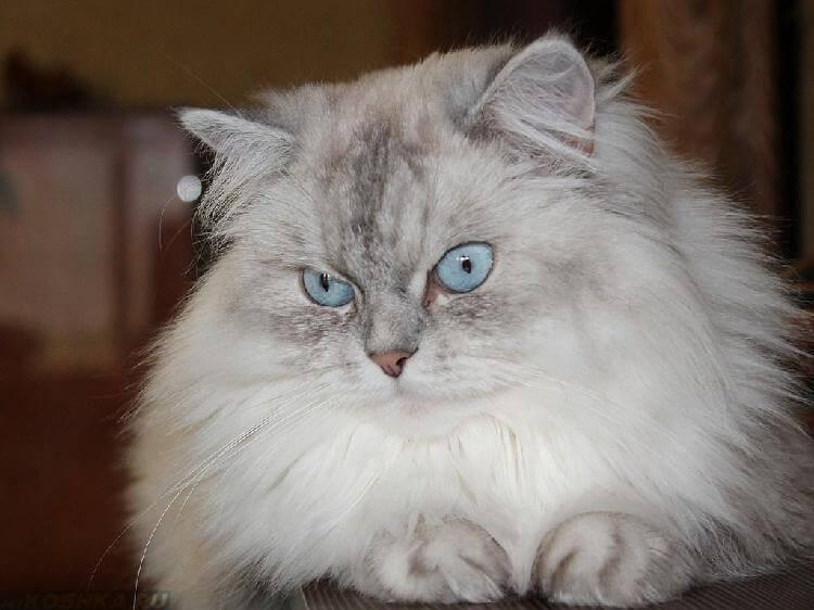 Кошки породы Невская маскарадная: грация и красота