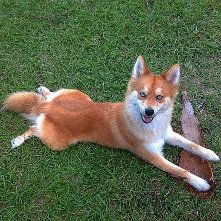 учётом картинки собак похожих на лисичек вас